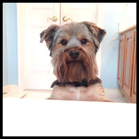 165/365. Someone wants a dip in the tub. #m4hp365 #ciuan365 #morkie