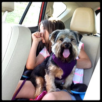 180/365. Puppy car ride. #m4hp365 #ciuan365 #morkie