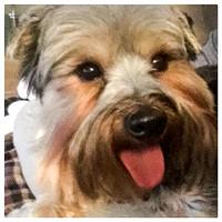 88/365. Silly puppy. #Markel365 #morkie #familyfriends365 by markellifeinphotos