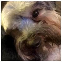 244/365. Puppy. #markel365 #familyfriends365 #morkie